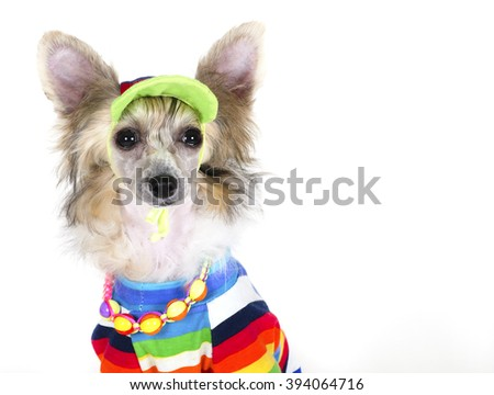 Cute Chinese Crested dog (Powderpuff variety, puppy) wearing a bright multicolored shirt, beads and a hat, on a white background with copy space for your text