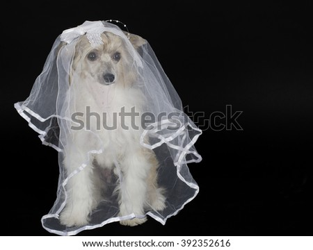 Cute Chinese Crested dog (Powderpuff variety) wearing a bridal veil, isolated on black with copy space for your text - stock photo
