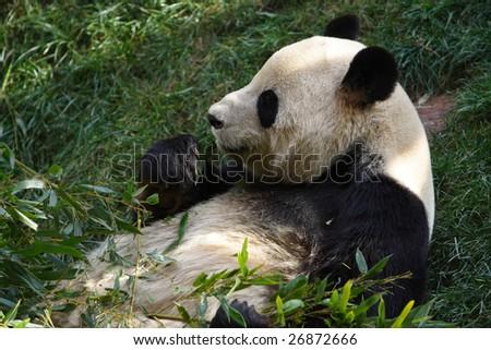 Cute Chinese panda - stock photo