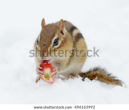 Cute chipmunk eating a piece of strawberry while sitting in the snow