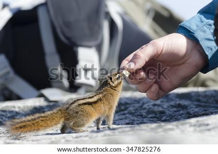 Cute chipmunk feeding  - stock photo