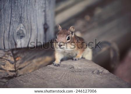 Cute chipmunk looking forward. Wild animal closeup.  - stock photo