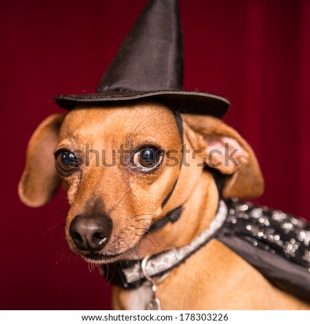 Cute Chiweenie dog dressed as witch with hat and cape for Halloween - stock photo