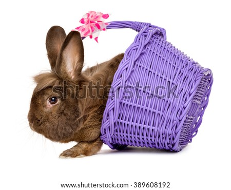Cute chocolate colored Easter rabbit climbing out of a purple basket, isolated on white background - stock photo
