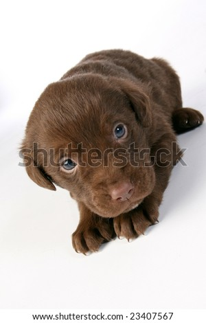 Cute chocolate lab puppy - stock photo