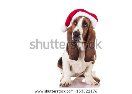 Cute Christmas Basset puppy sitting and looking up, isolated on white