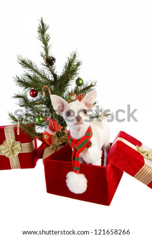 Cute Christmas Chihuahua Puppy under Christmas tree inside gift box wearing a scarf isolated on white background - stock photo