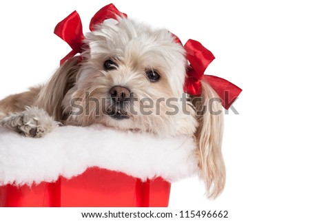 cute Christmas Maltese Terrier on a white background.
