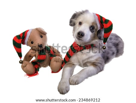 Cute Christmas Miniature Australian Shepherd puppy with teddy bear wearing hat and scarf isolated on white background - stock photo
