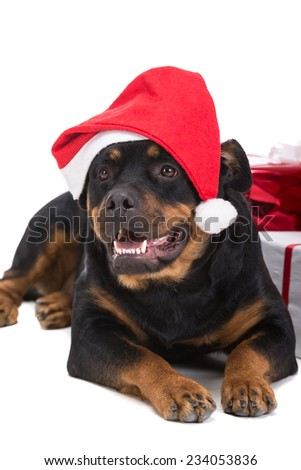 Cute Christmas rottweiler sitting with presents, isolated on white. - stock photo