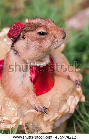 Must see Look Alike Chubby Adorable Dog - stock-photo-cute-chubby-prairie-dog-dresses-up-fantasy-look-pet-436994212  Photograph_37682  .jpg