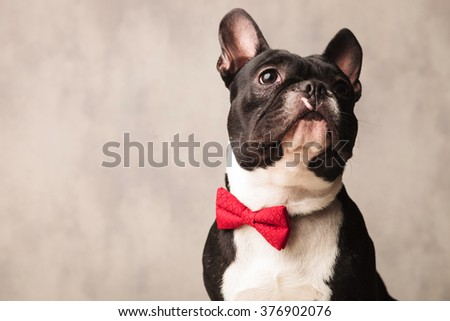 cute close portrait black and white french bulldog wearing a red bowtie while posing looking up - stock photo