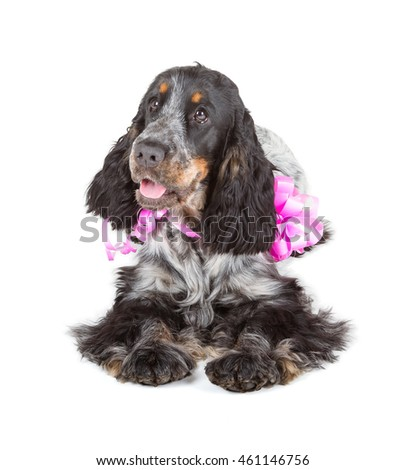 cute cocker spaniel lying isolated on white