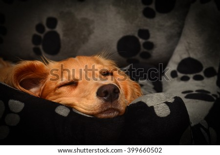 Cute cocker spaniel pup fast asleep in her bed. - stock photo