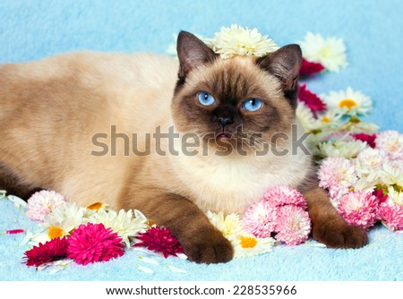 Cute color point cat relaxing on blue blanket covered with flowers