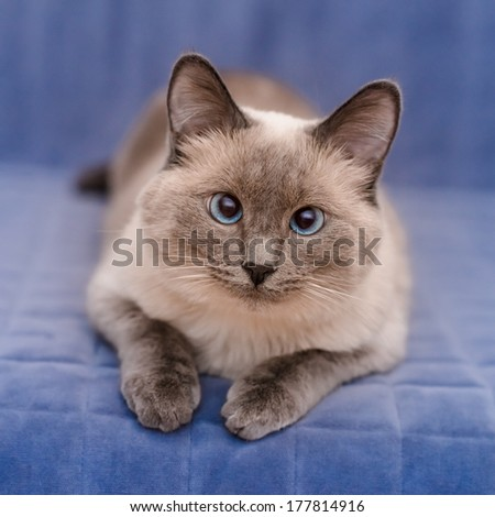 Cute colorpoint blue-eyed cat lying on blue sofa and looking at camera - stock photo
