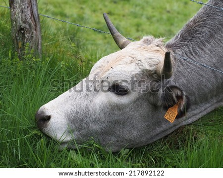Cute cow grazing underneath barbs - stock photo