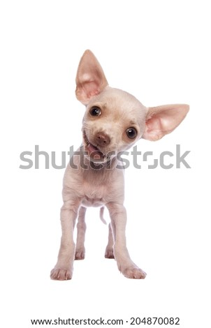 Cute cream color short hair Chihuahua puppy smiling isolated on white background - stock photo
