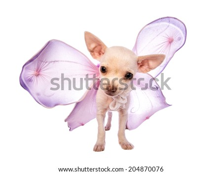 Cute cream color short hair Chihuahua puppy wearing purple fairy wings isolated on white background - stock photo