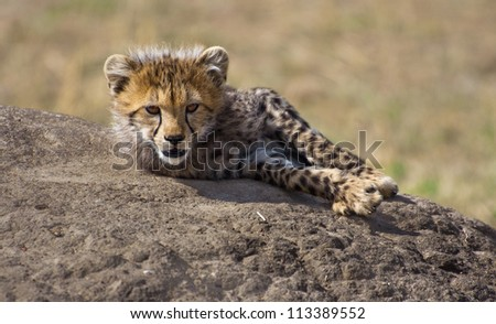 Cute Cub on the Rock - stock photo