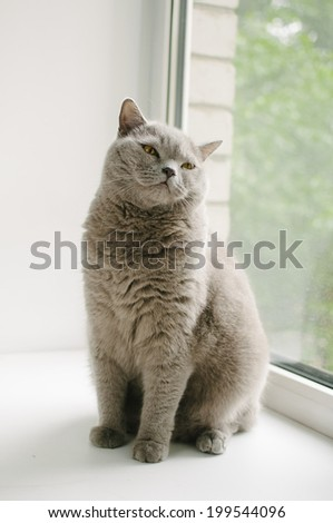 cute cuddly happy british shorthair cat by the window - stock photo