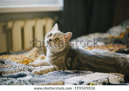 cute cuddly scottish straight kitten on a kitty tapestry - stock photo