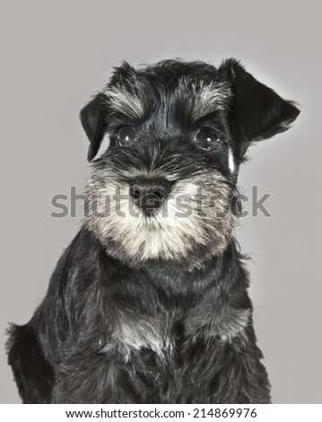 cute curious black and silver schnauzer puppy portrait - stock photo