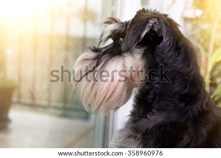 Cute curious Miniature Schnauzer looking through balcony door - stock photo