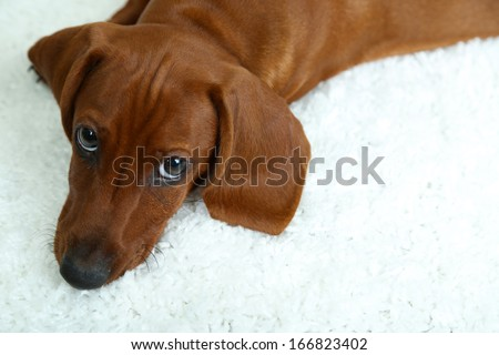 Cute dachshund puppy on white carpet - stock photo