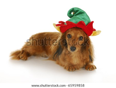 cute dachshund wearing christmas elf hat with reflection on white background