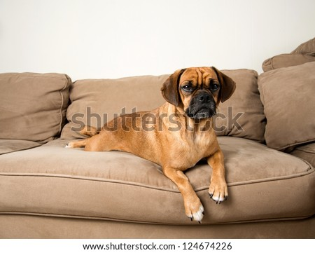 Cute Dark Fawn Puggle Dog Relaxing on Sofa of Similar Color - stock photo