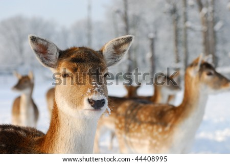 Cute deer in winter (The Netherlands Elswout Overveen) - stock photo