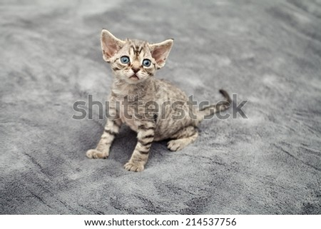 Cute devon rex kitten sitting and looking - stock photo