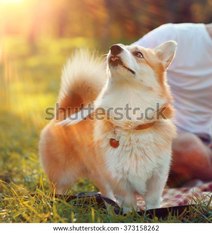 cute dog Corgi - stock photo