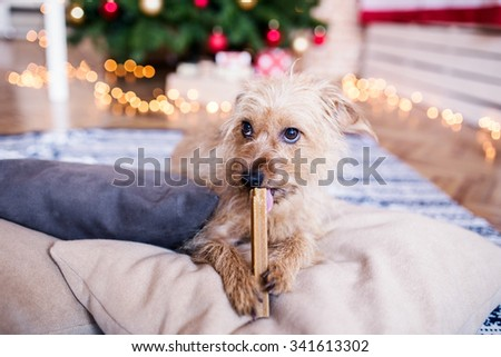 Cute dog eating his Christmas gift. Cute dog eating bone in front of a Christmas tree. Depth of field, selective focus - stock photo