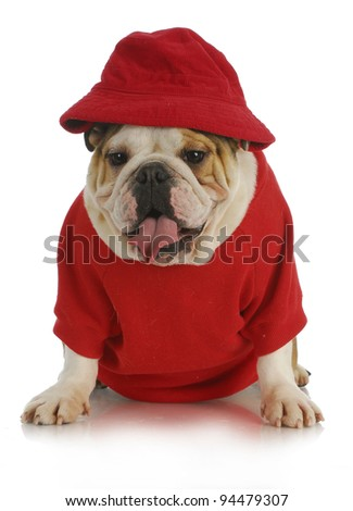 cute dog - english bulldog wearing red had and shirt on white background