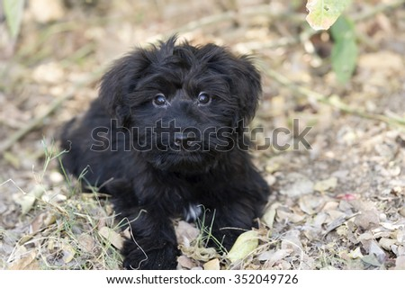 Cute dog eyes is a black fluffy looking puppy dog looking up with curiosity. - stock photo