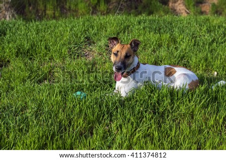Cute dog fox terrier on a green meadow with a ball - stock photo