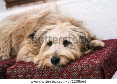 Cute dog in house resting - stock photo