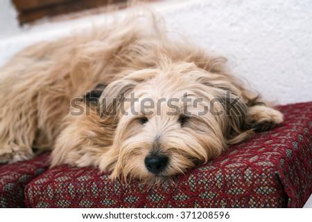 Cute dog in house sleeping  - stock photo