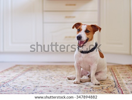 Cute dog jack russel sitting in the kitchen floor on carpet. - stock photo