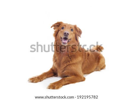 Cute dog laying. Image taken in a studio.