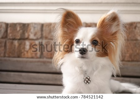 Simple Papillon Canine Adorable Dog - stock-photo-cute-dog-look-away-continental-toy-spaniel-papillon-dog-pure-breed-also-known-as-a-butterfly-784521142  Photograph_358568  .jpg