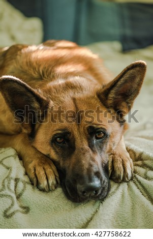 cute dog looking at camera, german shepherd laying on bed - stock photo