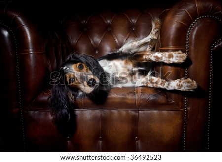 Cute dog lounging in classic leather sofa