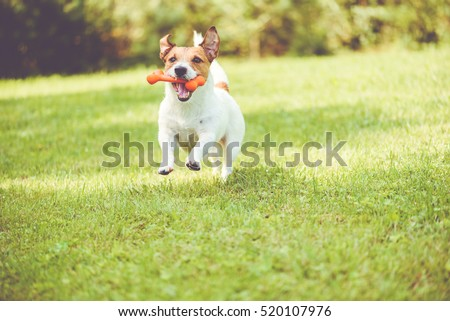 Cute dog playing with toy bone at sunny summer day