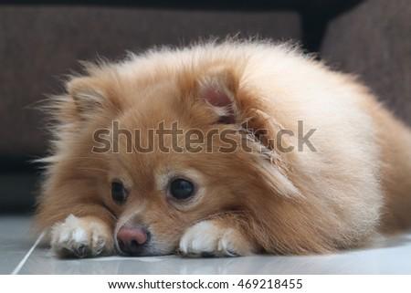 Cool Pomeranian Brown Adorable Dog - stock-photo-cute-dog-pomeranian-pomeranian-pets-sleeping-469218455  Graphic_53179  .jpg