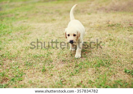 Cute dog puppy Labrador Retriever running on grass - stock photo