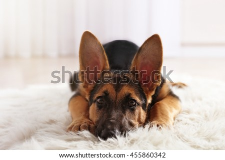 Cute dog shepherd on carpet