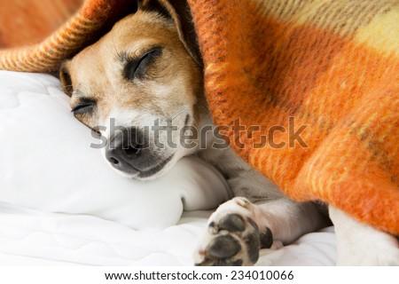 cute dog sleeping basking resting under a cozy blanket - stock photo
